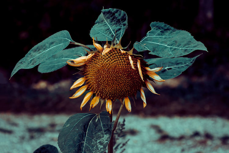 Withered single sunflower in a sunflower field, close-up. when summer comes to an end