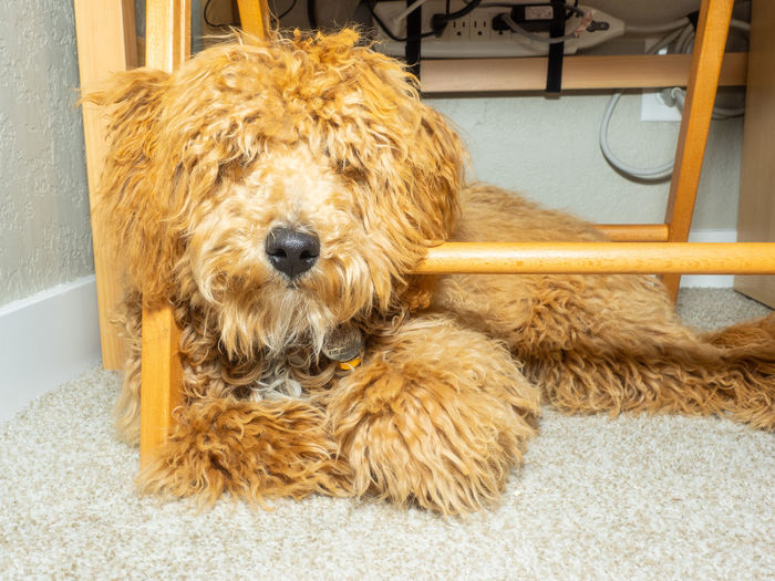 Portrait of dog relaxing on rug