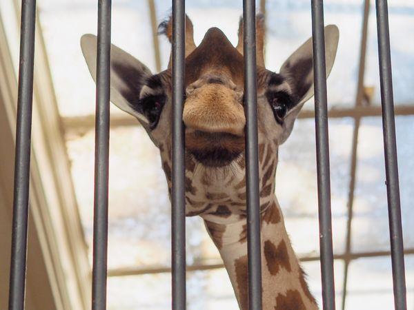 Giraffe Zoo Zoo Animals  Animal Animal Themes Mammal One Animal Domestic Animals Vertebrate No People Close-up Animal Body Part Barrier Fence Animals In Captivity Looking At Camera Livestock Animal Head