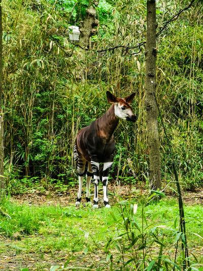 Okapi Giraffe