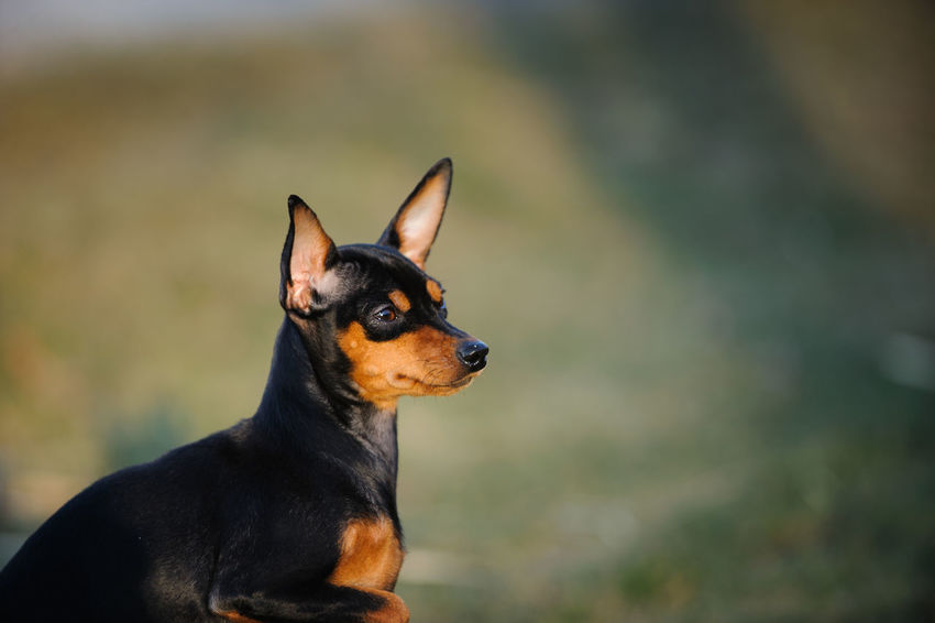 Miniature Pinscher dog Animal Themes Close-up Day Dog Focus On Foreground Mammal Min Pin Miniature Miniature Pinscher No People One Animal Outdoors Pets Pinscher Purebred Dog Small Dog