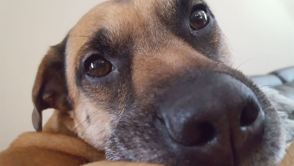 Dog Pets One Animal Animal Head  Animal Domestic Animals Close-up Brown Puppy Love Dog Portrait Dog Lover Dog Life Dog Photography Dog Snout Puppy Eyes Dog Eyes Pet Portraits