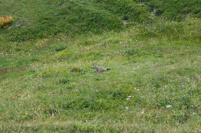 marmot in a mountain lawn in spring Marmot Springtime Springtime Lawn Mountain Range Mountain Animal Wildlife & Nature Wild Animal Alps Italy Italian Alps Tranquility Freshness Backgrounds Full Frame Water High Angle View Field Lawn Sunlight Grass Green Color Grass Area Grassland Blooming Green