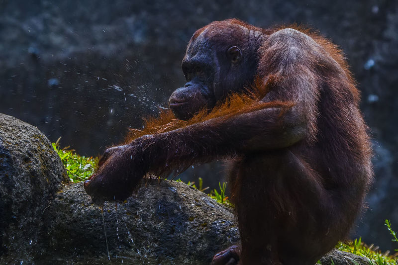 Orang Utan play water Animal Collection Animals In The Wild Orang Utan Animal Photography Animal Themes Animal Wildlife Orang Utan Child Orang Utan Kalim