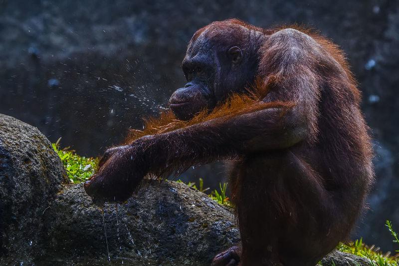 Orangutan sitting on rock