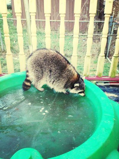 This fat ass raccoon in my backyard!!!