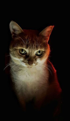 ... Animal Animal Body Part Animal Eye Animal Themes AntiM Black Background Cat Cats Of EyeEm Close-up Domestic Cat Eddie Tor Feline Light And Shadow Looking At Camera Mammal No People One Animal Pets Portrait Serious Cat Seriousface