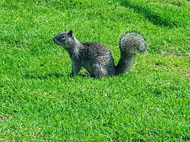 Squirrel On The Lookout For Food Squirrel Grassy Nature Furry Friends Outdoors EyeEm Squirrels Things You See Sunshine Abundance Eyeemphotography Perspective ForTheLoveOfPhotography Eye4photography  From My Point Of View Animal Photography Creatures Photography Is My Therapy