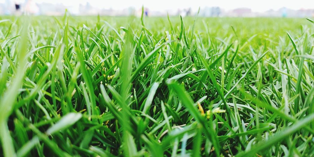 Grass Agriculture Field Farm Crop  Growth Rural Scene Cereal Plant Green Color Close-up Nature Outdoors Day No People Beauty In Nature Freshness Sky Live For The Story Place Of Heart Sommergefühle 100 Days Of Summer The Week On EyeEm