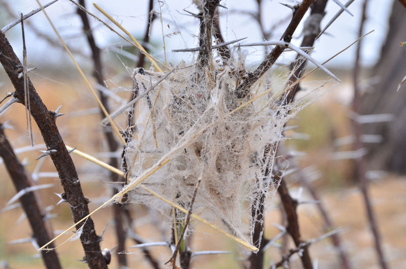Namibia Stegodyphus Stegodyphus Web Beauty In Nature Close-up Day Dried Plant Focus On Foreground Fragility Nature No People Outdoors Plant Spider Web W-namibia