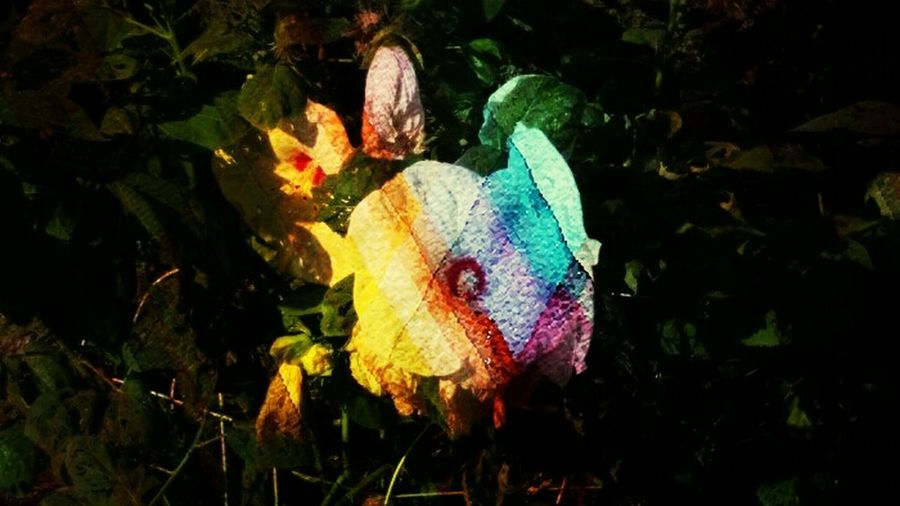 Hibiscus Kaleidescape