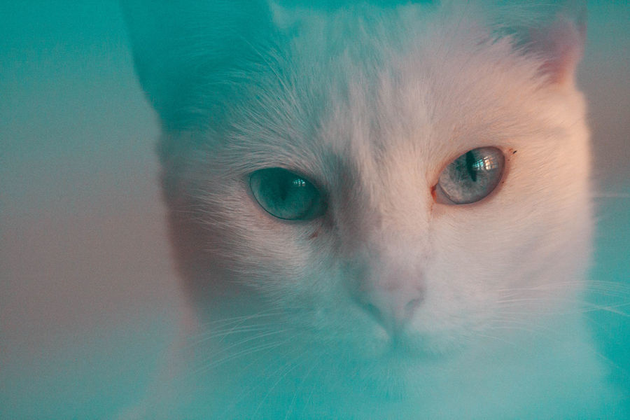 Animal Animal Body Part Animal Eye Animal Head  Animal Themes Blue Eyes Cat Close-up Domestic Domestic Animals Domestic Cat Eye Feline Indoors  Looking At Camera Mammal No People One Animal Pets Portrait Vertebrate Whisker