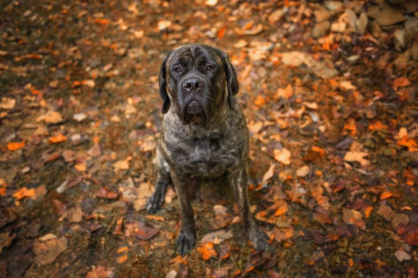 English Mastiff Mastiff Autumn Leaf Change Dog Pets One Animal Animal Themes Domestic Animals Outdoors Nature No People Day Forest Mammal Close-up Beauty In Nature