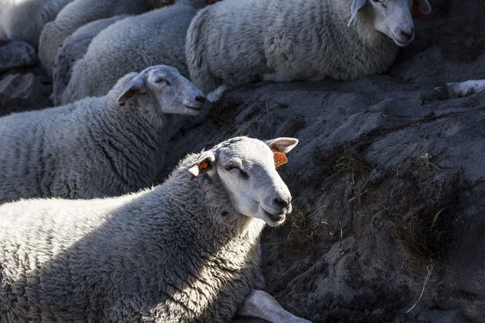 A flock of sheep in Lofoten, Norway Shadow And Light Animal Animal Family Animal Themes Day Domestic Domestic Animals Early Morning Flock Of Sheep Group Of Animals Herbivorous High Sun Livestock Mammal Nature No People Outdoors Relaxation Sheep Togetherness Vertebrate Young Animal