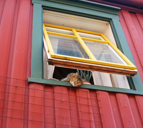 Animal Animals Cat Cats Pet Pets Chilling Laying Down Chilling Out Window Windows Looking Through Window Building Street Street Photography Check This Out Trondheim Norway MISSIONS: The Street Photographer - 2017 EyeEm Awards The Portraitist - 2017 EyeEm Awards Pet Portraits