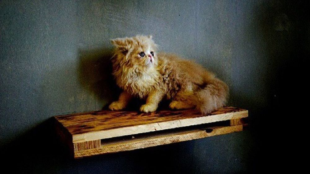 Meow 🐈 Indoors  Pets Persian Cat  Coffee Cat One Animal Hanoi, Vietnam TakenbyVin Sonyphotography
