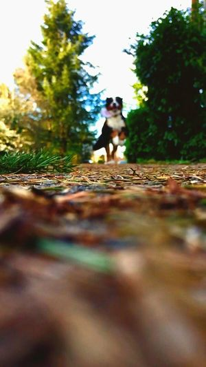 I'll never stop loving Bernese Mountain Dogs Full Length One Person Walking Selective Focus Pets Autumn Tree Dog Outdoors One Animal Day Leaf The Way Forward Forest Lifestyles Domestic Animals Bernese Mountain Dog Family Running Love Happiness Let's Go. Together. Sommergefühle EyeEmNewHere