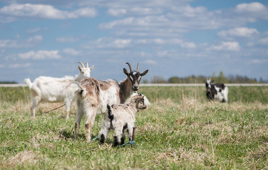 Agriculture Animal Themes Background Beauty In Nature Business Finance And Industry Cattle Breeding Concept Day Domestic Animals Farm Farm Life Field Goats Grass Latvia Mammal Nature No People Outdoors Pasture Sky