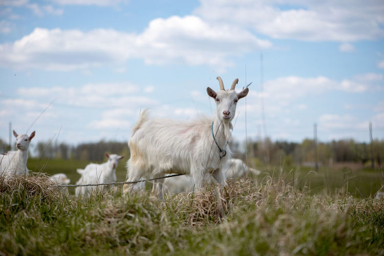 Close-up of white goat tied to rope on grassy field
