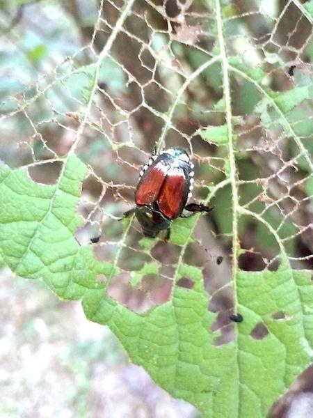 Beetlephotography Beetle BugOnAflower Bugeatingleaf Insect Photography Eyeem Insects