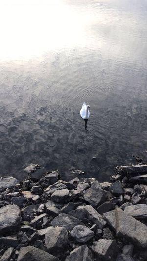 Cisnes Ria Auga Ortigueira