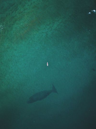 Whale coasting past a surfer Surfer Whale Sea Water High Angle View Nature Beauty In Nature Aerial View Scenics - Nature Tranquility Underwater Turquoise Colored UnderSea