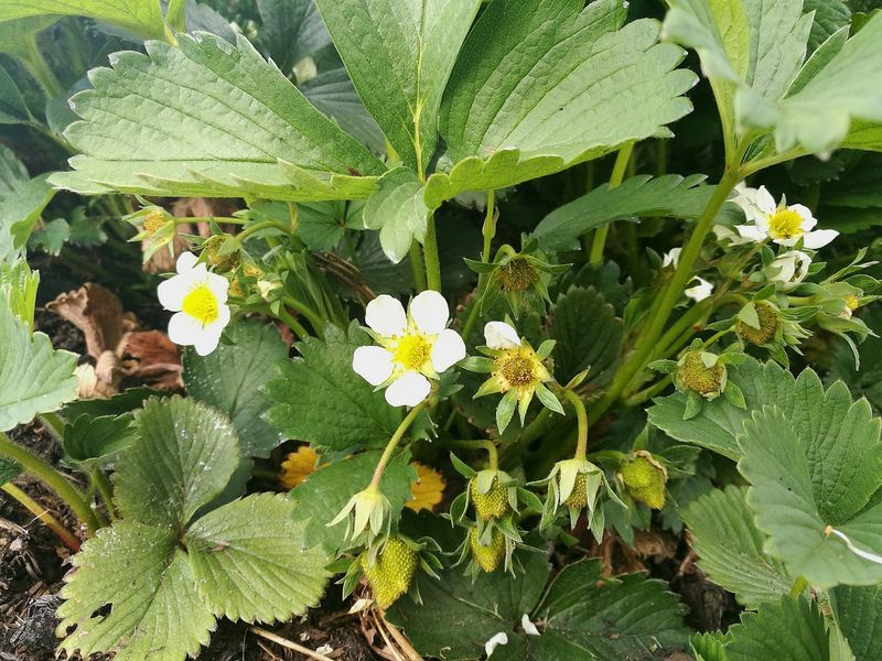 Plants And Flowers Strawberry Plant Strawberry Flower Green Strawberry Green Strawberries Green Berries Berry Berry Bush Berry Plant Plant Flowers,Plants & Garden Plants Plants And Garden Smartphone Photography P9 Springtime Spring Nature Growth Close-up Plant Flowers And Berries Berries Strawberry Spring Growth