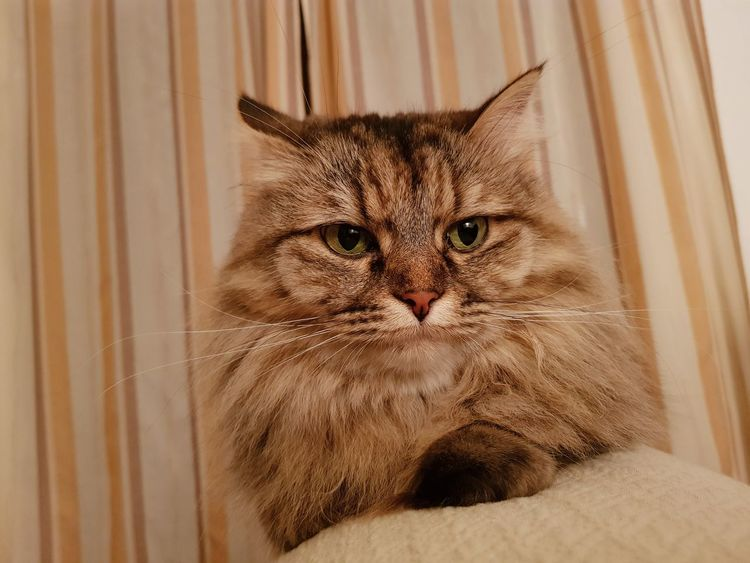 Domestic Cat Pets Feline Domestic Animals Indoors  Curtain Home Interior Whisker Mammal Animal Themes No People One Animal Looking At Camera Portrait Bed Close-up