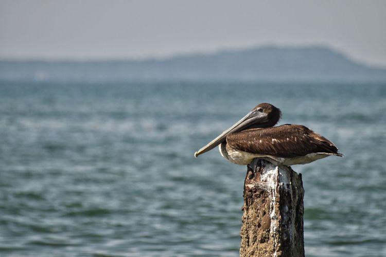 Chilling. Sea EyeEm Best Shots Beauty In Nature EyeEm Selects Bird Perching Water Sea Pelican Animal Themes Close-up Sky Stork Wooden Post Animal Nest Freshwater Bird Sea Bird
