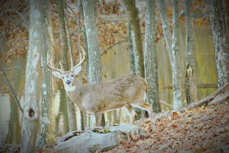 Buck Lone Elk Park