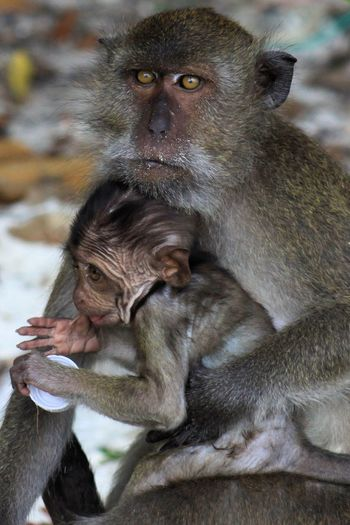 Portrait Of Monkey Sitting With Infant At Beach