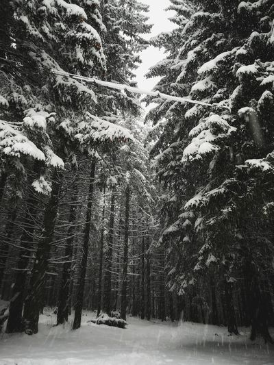 snow storm in pinetree forest Christmas P10lite Huaweiphotography PhonePhotography Wide Depth Of Field Winter Snow Tree Cold Temperature Nature Weather Outdoors Tranquility Day Beauty In Nature Tranquil Scene No People Scenics Growth Snowing Sky Forest Landscape Shades Of Winter