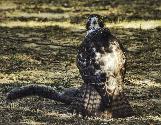 Atlanta Hunter Bird Animal Themes Animals In The Wild One Animal Bird Of Prey Animal Wildlife Focus On Foreground No People Field Day Nature Outdoors Looking At Camera Portrait Close-up Perching USA Atlanta Perspectives On Nature Perspectives On Nature Heimat Heimatliebe Color Wildlife Wildlife & Nature My Best Travel Photo My Best Photo The Great Outdoors - 2019 EyeEm Awards The Traveler - 2019 EyeEm Awards