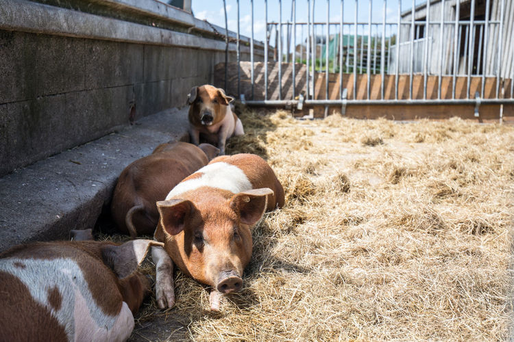 Pigs relaxing on grass