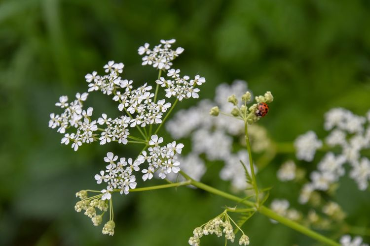 Cow Parsley Anthriscus Insect Photography Insect Ladybird Ladybirds 🐞 Ladybird Ladybug🐞 Flowering Plant Flower Plant Fragility Vulnerability  Freshness Beauty In Nature Nature Focus On Foreground Close-up Day Flower Head No People Growth Inflorescence White Color Outdoors Green Color Invertebrate