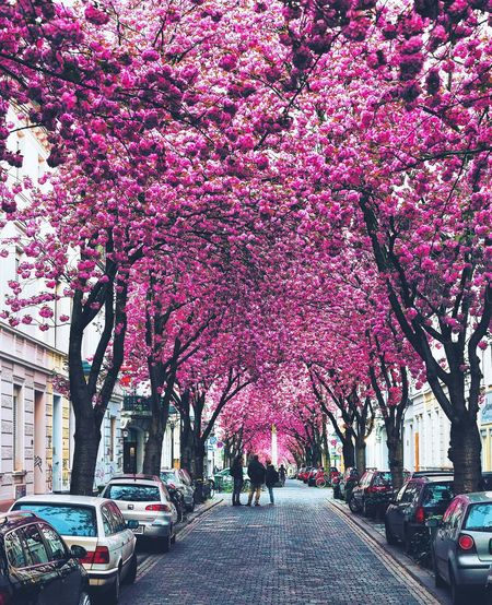 Pink cherry blossoms in city