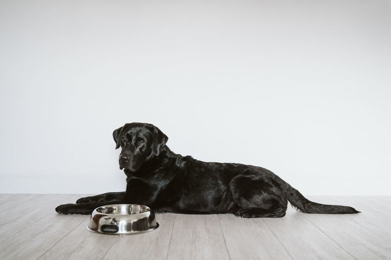 Dog looking away while sitting on hardwood floor against white background