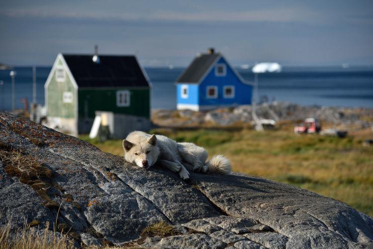 Sheep on rock by sea against buildings