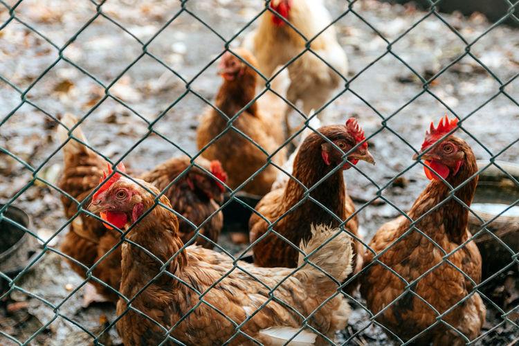 Chicken in their muddy yard. hen, rooster, farm animals.