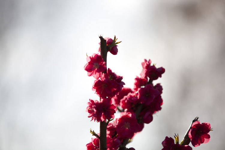 Low angle view of pink hibiscus flower against sky