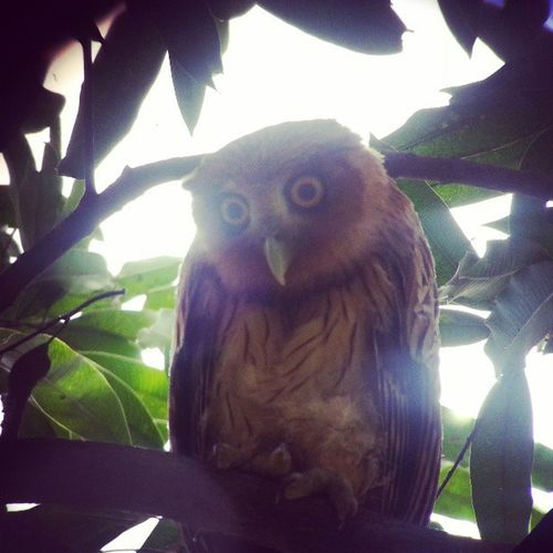 The elusive Eagle Owl Angono Wild Bird Onlyinthephilippines