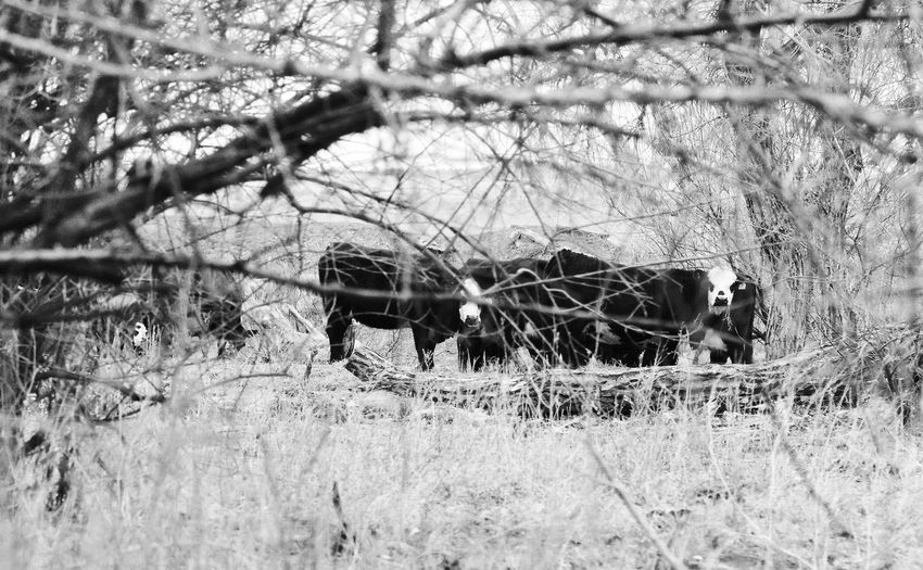 Cows curious of photographer Lingle Wyoming Pasture Black And White Day Just Fed Livestock Outdoors Tree