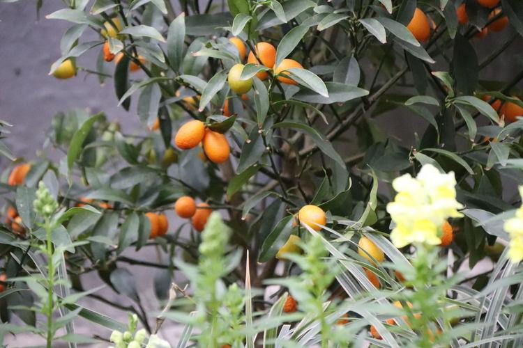 Orange fruits on tree