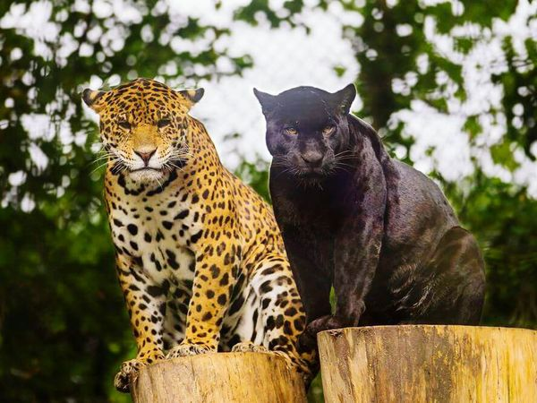 Muhteşem !!!! Leopard Animals Black My Favorite  Favorite Animal Wild Noble Lifetime Love Leopard Love ❤️❤️ Magnificent