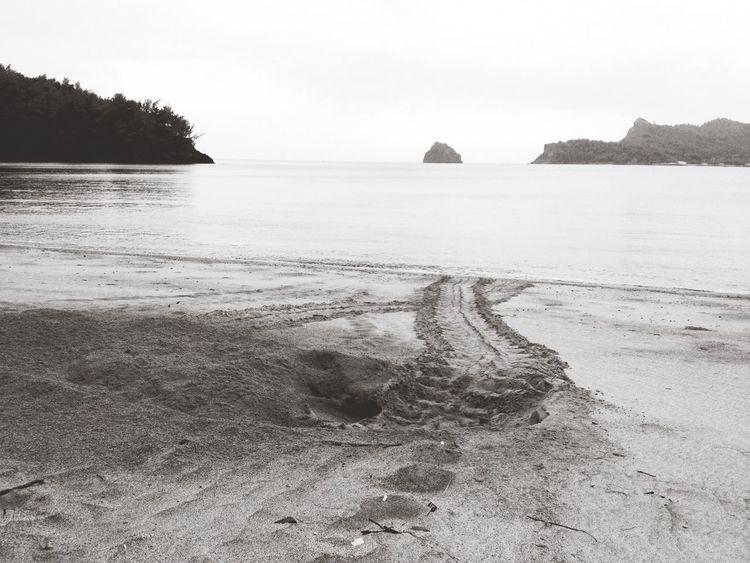 日に日にアオウミガメの足跡が増えてきています^ ^