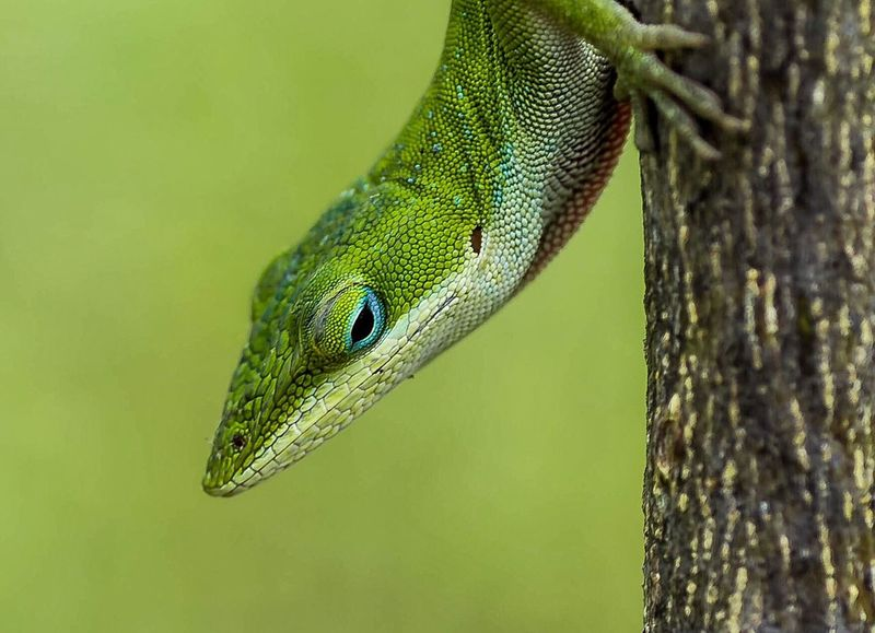 Colour Of Life green Anole Lizard Bluffton Sc, Hanging Out Hello World Enjoying Life Outdoor Photography South Carolina Nature On Your Doorstep From My Point Of View My Favorite Things Eye