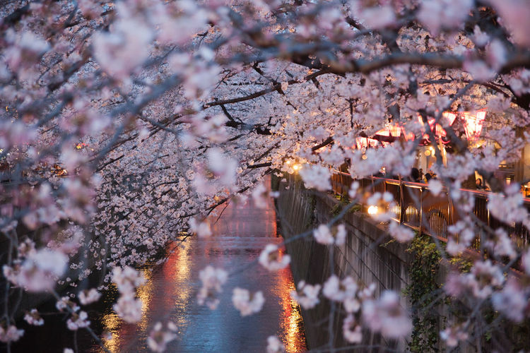 Cherry Blossoms Over River At Dusk During Springtime