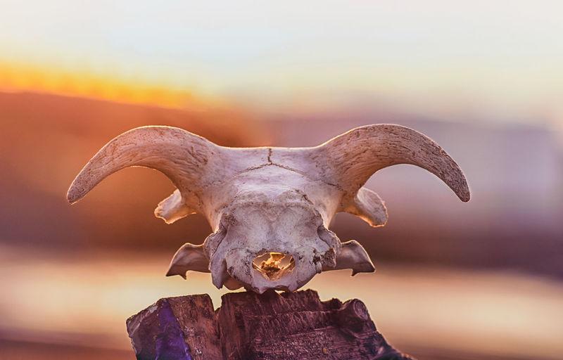 Close-up of sheep skull