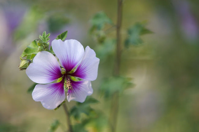 Beauty In Nature Blooming Close-up Color Day Flower Flower Head Focus On Foreground Fragility Freshness Growth Landscape Nature No People Outdoors Petal Plant Rose Of Sharon