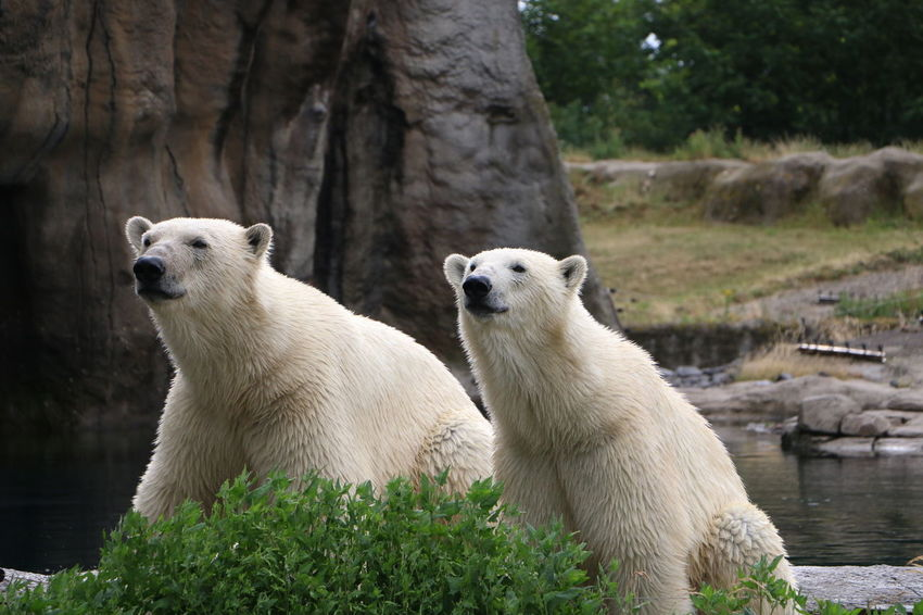 EyeEm Selects Animal Animal Wildlife Polar Bear Mammal Blijdorp Rotterdam Twins Beauty In Nature Zoo